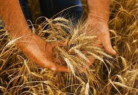 colheita de trigo